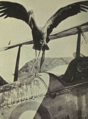 stork-which-landed-on-british-aircraft