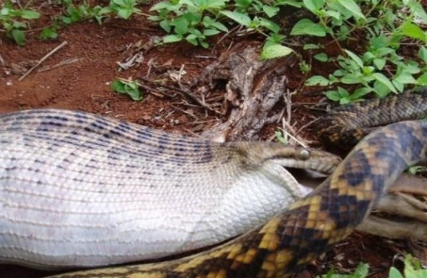 og.in one bad snake (3)