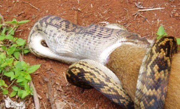 og.in one bad snake (4)