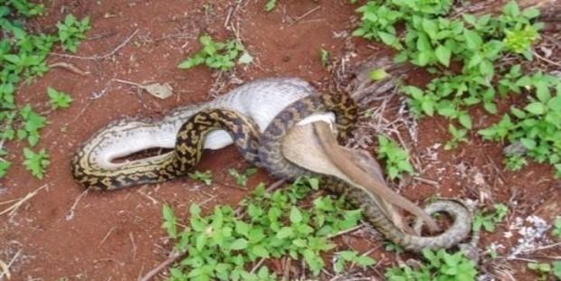 og.in one bad snake (6)