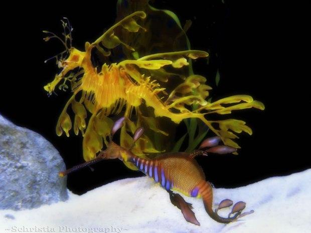 Leafy-Seadragon-Weedy-Seadragon
