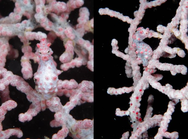 Pygmy-seahorse-well-camouflaged-to-blend-in-with-the-soft-coral-around-Cebu-Philippines