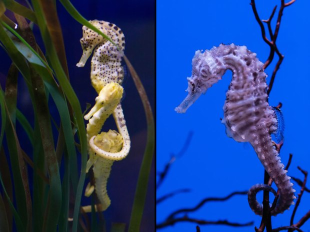 Seahorse-cluster-tail-around-head-and-closeup-of-seahorse