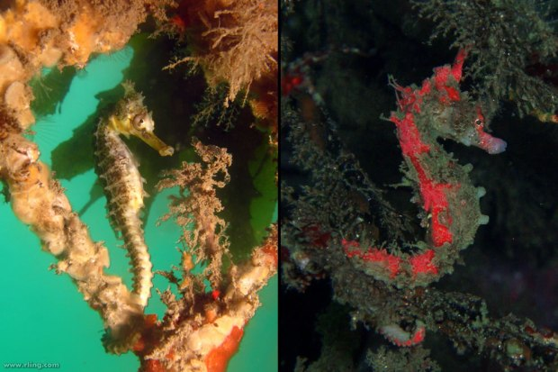 Seahorse-master-of-disguise-via-camouflage-and-some-change-colors-to-blend-into-their-environment