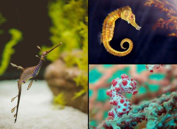 Stunning-seahorses-seadragons-pygmy-seadragon