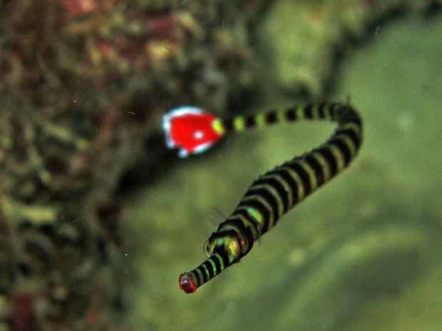 Toothless-pipefish-is-snake-like-and-has-a-long-thin-straight-body-and-tail