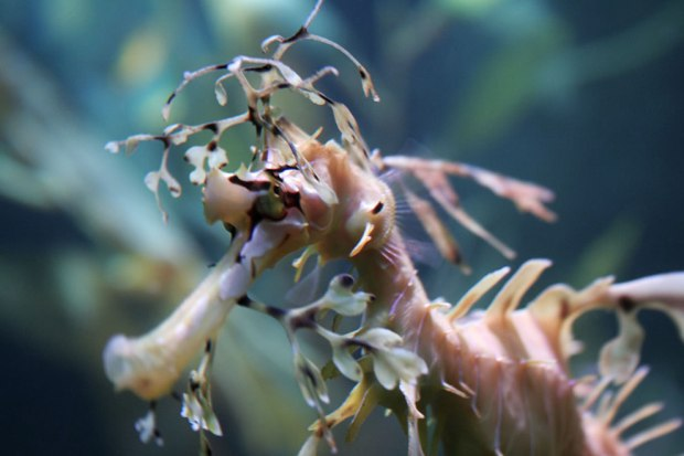 Up-close-and-personal-with-a-leafy-seadragon