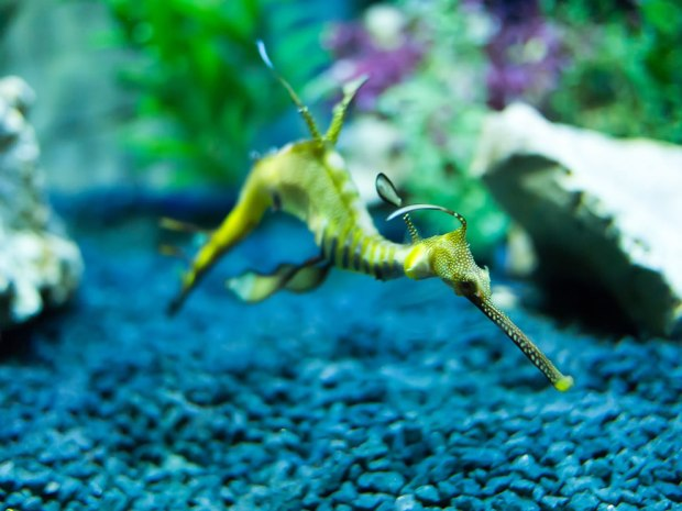 Weedy-seadragon-bizarrely-appearing-to-fly-through-the-water