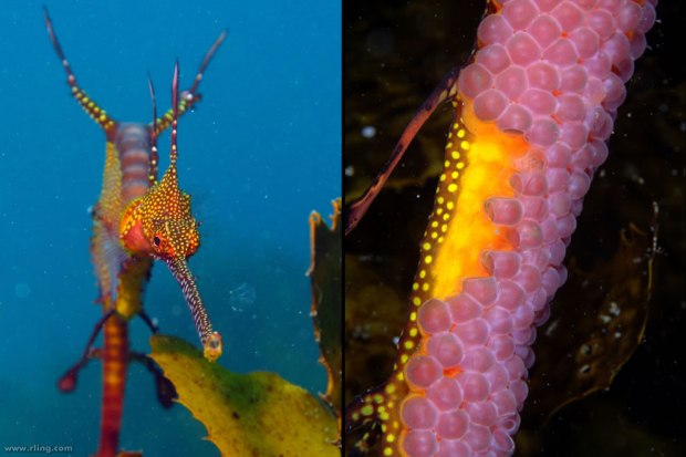 Weedy-seadragon-male-weedy-seadragon-with-eggs