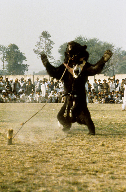 Bear Baiting Pakistan