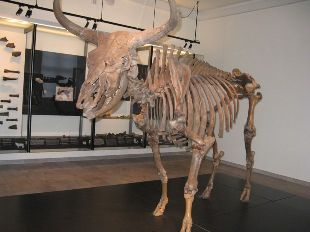 Aurochs-ancestors-of-domestic-cattle-extinct-since-1627