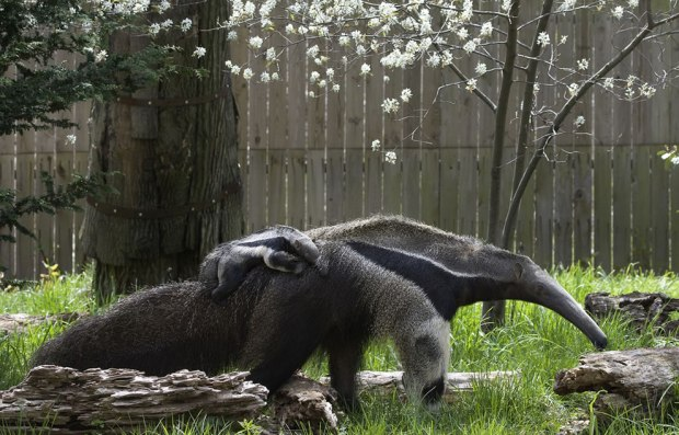 Baby-Giant-Anteater-piggyback-riding-mom-