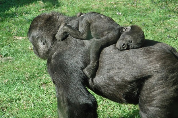 Baby-gorilla-sleeping-on-moms-back