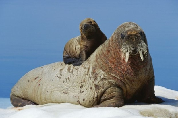 Baby-walrus-on-moms-back
