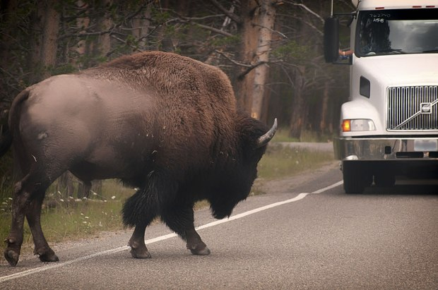 Big-bison-not-intimidate-by-bigger-semi-on-Yellowstone-road