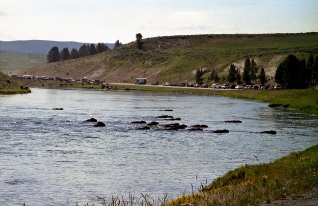 Bison-crossing-river-and-road-in-Yellowstone