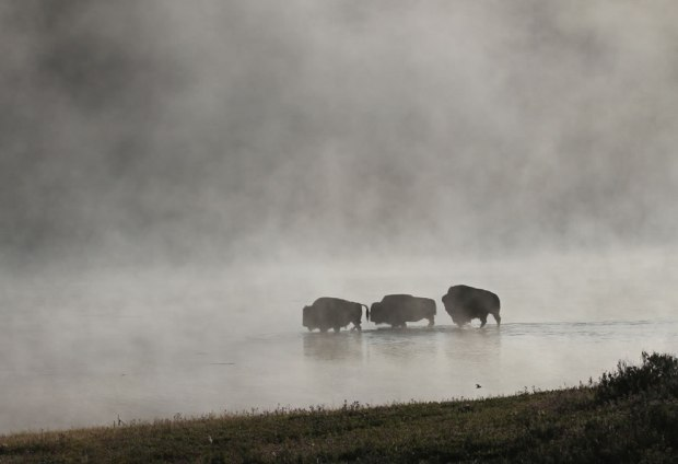 Bison-crossing-Yellowstone-River-on-a-foggy-morning