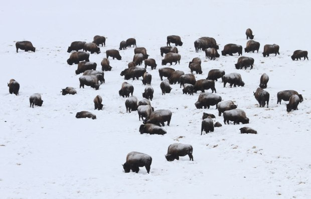 Bison-grazing-in-snow-covered-Hayden-Valley