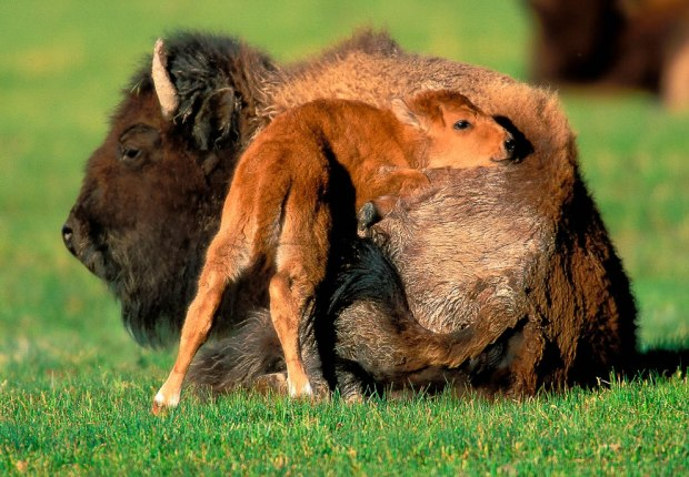 Bison-Mother-and-Calf
