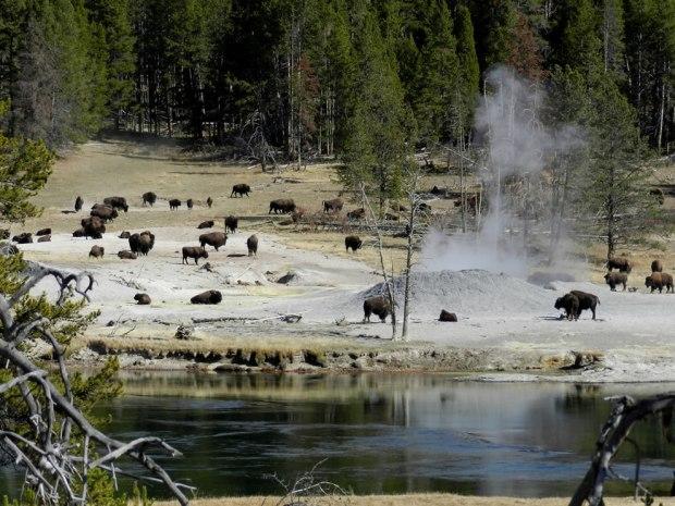 Bison-near-Mud-Volcano
