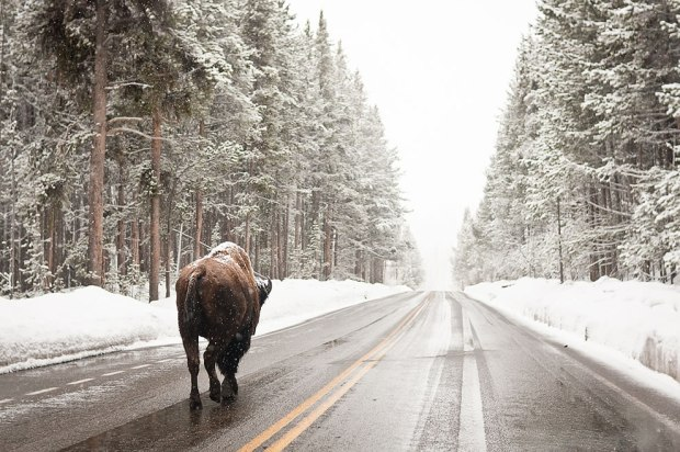 Bison-on-the-snowy-Yellowstone-road