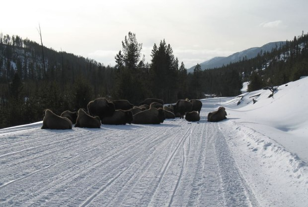 Bison-Road-Block-Yellowstone-Buffalo-Jam