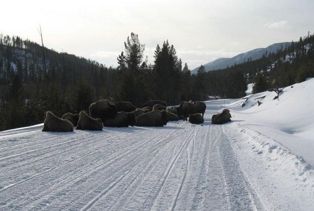 Bison-Road-Block-Yellowstone-Buffalo-Jam