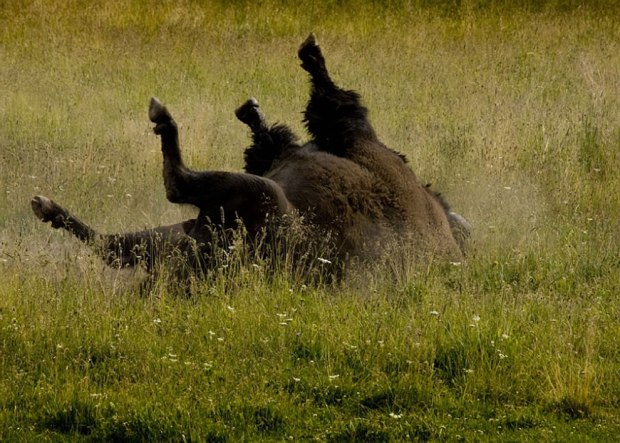 Bison-scratching-his-back-at-Yellowstone