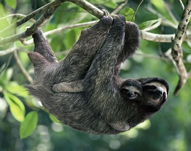 Brown-throated-Three-toed-Sloth-with-Baby
