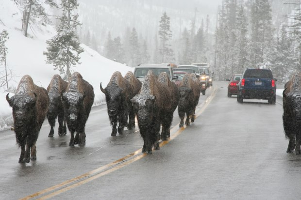 Buffalo-jam-Bison-slowing-traffic-down