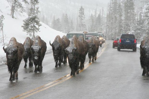 Buffalo-jam-Bison-slowing-traffic-down