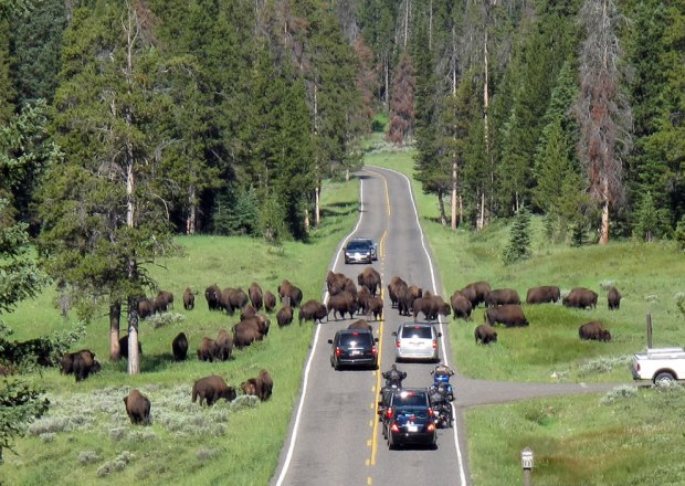 Buffalo-not-humans-rule-the-roads-at-Yellowstone