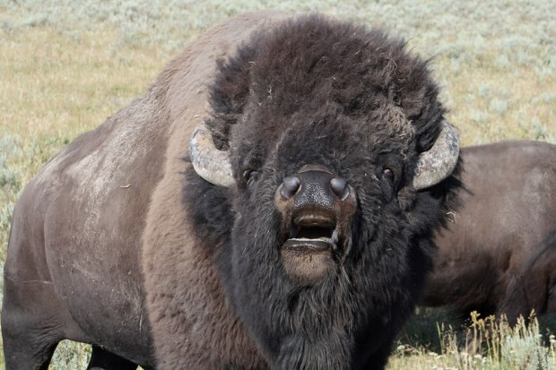 Bull-American-bison-in-rut-Hayden-Valley-Yellowstone-National-Park