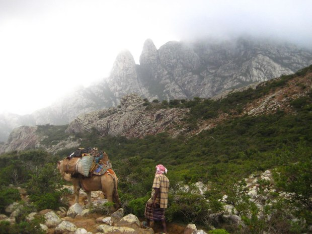 Camel-trecking-on-Socotra