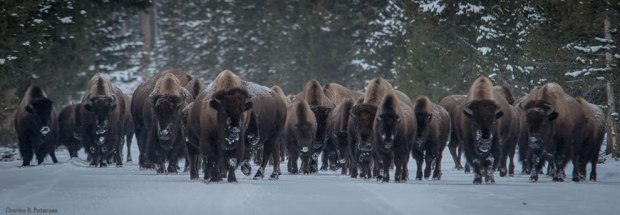 Coming-through-Bison-herd-west-Yellowstone-to-Madison-Junction-Road-Yellowstone-National-Park