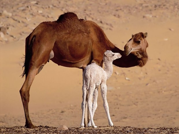 Dromedary-Mom-and-baby-camel-