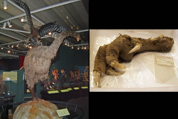 Extinct-New-Zealand-bird-was-flightless-pictured-Haasts-Eagle-attacking-a-moa-on-display-at-Te-Papa