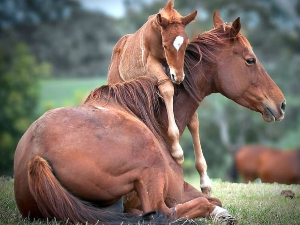 Foal-urging-moma-horse-to-get-up-and-play