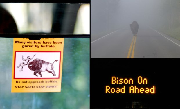 For-such-huge-beasts-bison-are-not-always-easy-to-spot-in-the-dark-or-in-the-fog-on-Yellowstone-roads.-Be-careful
