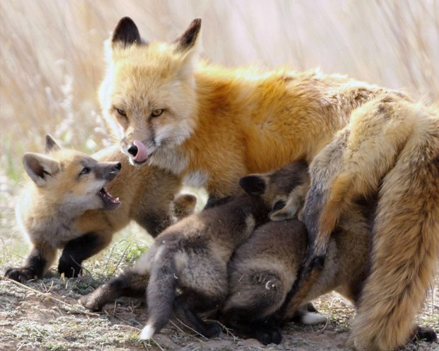 Fox-and-babies-at-feeding-time