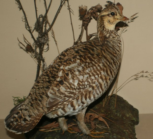 Heath-hen-became-extinct-in-1932