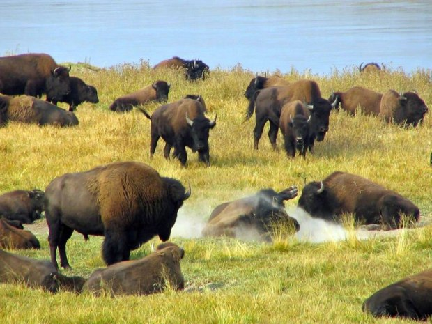 Herd-of-Yellowstone-buffalo-bison-bison