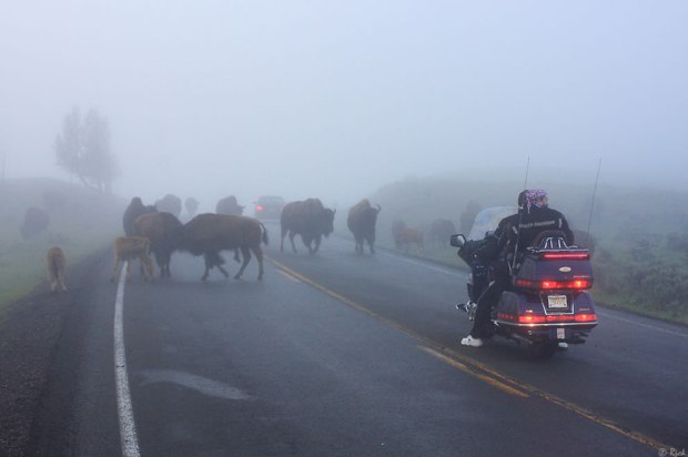 Hope-Bison-dont-try-to-hipcheck-motorcyles-Yellowstone
