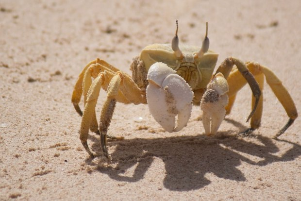 Horn-eyed-ghost-crab-taken-at-Shuab-beach-Socotra