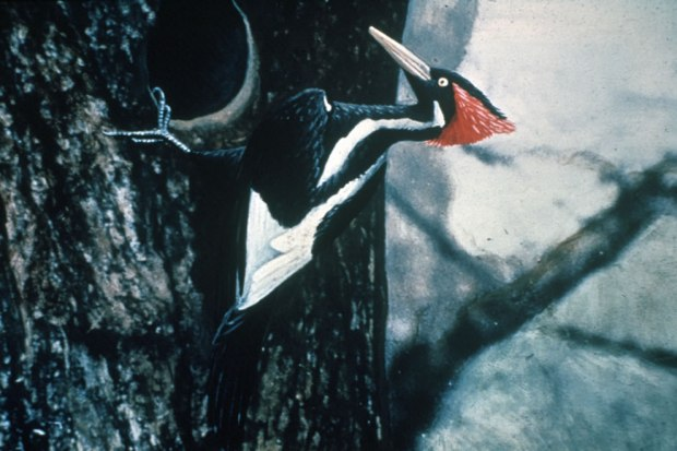 Ivory-billed-Woodpecker