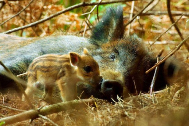 Mom-and-baby-wildboar