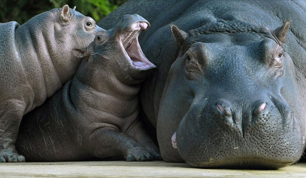 Mom-hes-touching-me-Mom-hippo-with-two-babies