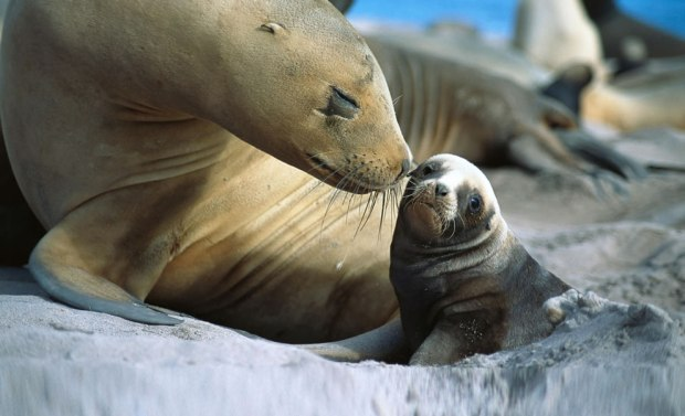 Mom-loving-on-her-baby-sealion