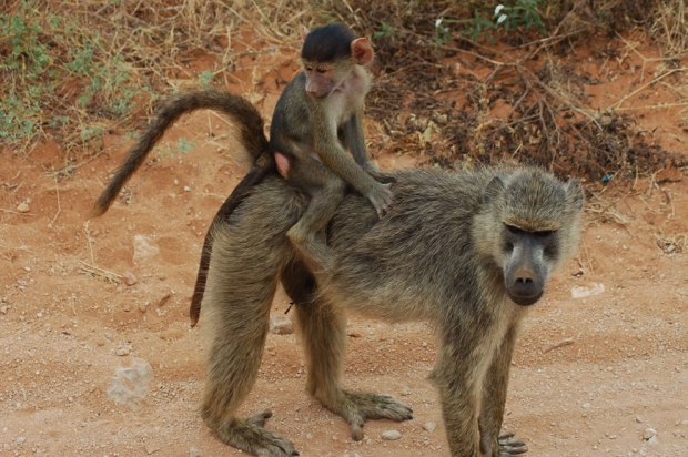 Monkey-baby-riding-its-mom