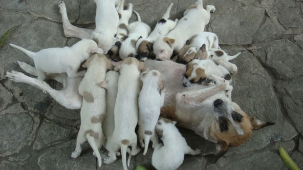 Mother-dog-overwhelmed-by-pack-of-hungry-pups